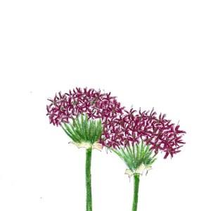 Granat-Kugellauch - Allium atropurpureum