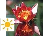 Froebels Seerose