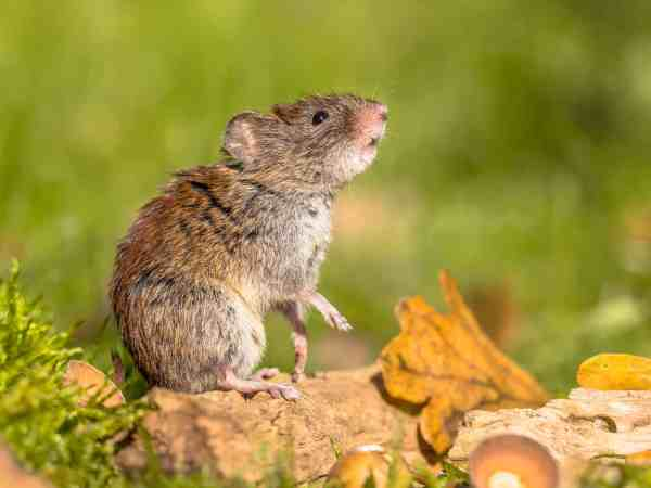 Wild Bank vole (Myodes glareolus) mouse posing on hind legs and looking up from autumn scene forest floor with dead leaves and acorns