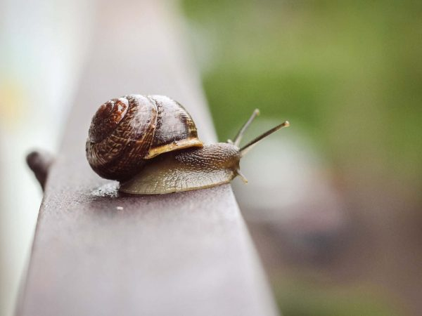Snail crawling on the iron fence. Crawling slug with armor. Wild world