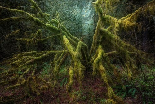 Old Timer. A moss covered vine maple