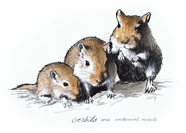 Gerbil family color illustration. The life span of gerbils is 2-3 years.