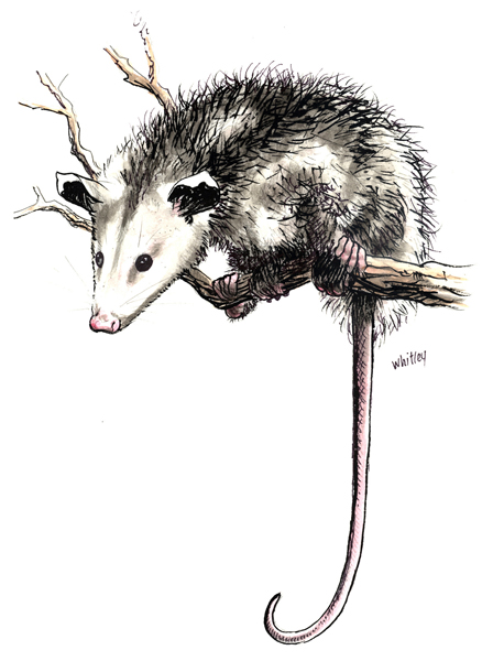 Opossum in a tree.
