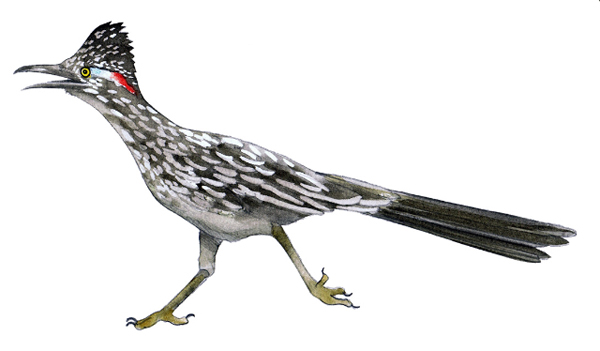 Roadrunner color illustration.