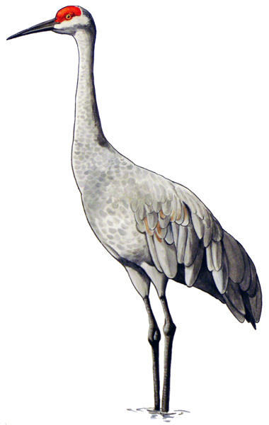 Sandhill Crane color illustration.
