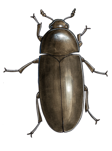 Dermestid beetle color rendering.