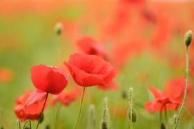 Barnsley Flanders Poppies