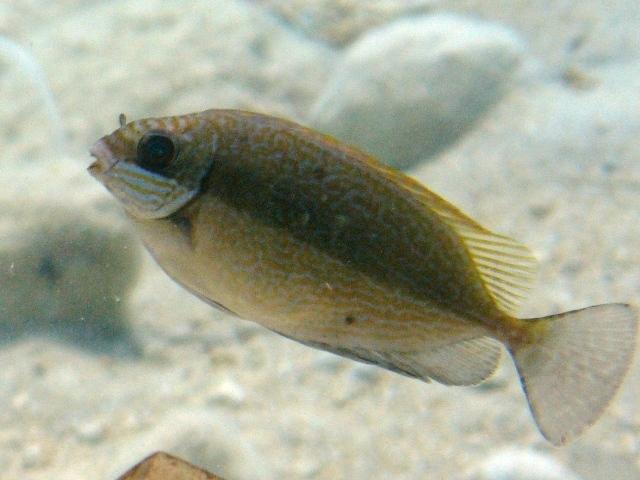 Il pesce tropicale Siganus luridus è arrivato in Salento!