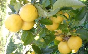 agrume-bergamotto