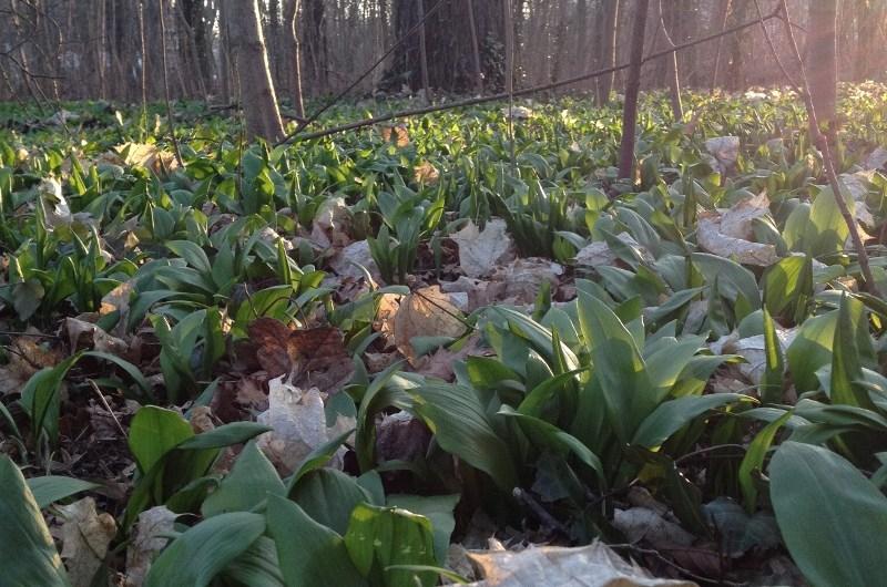 Bärlauch – Allium ursinum