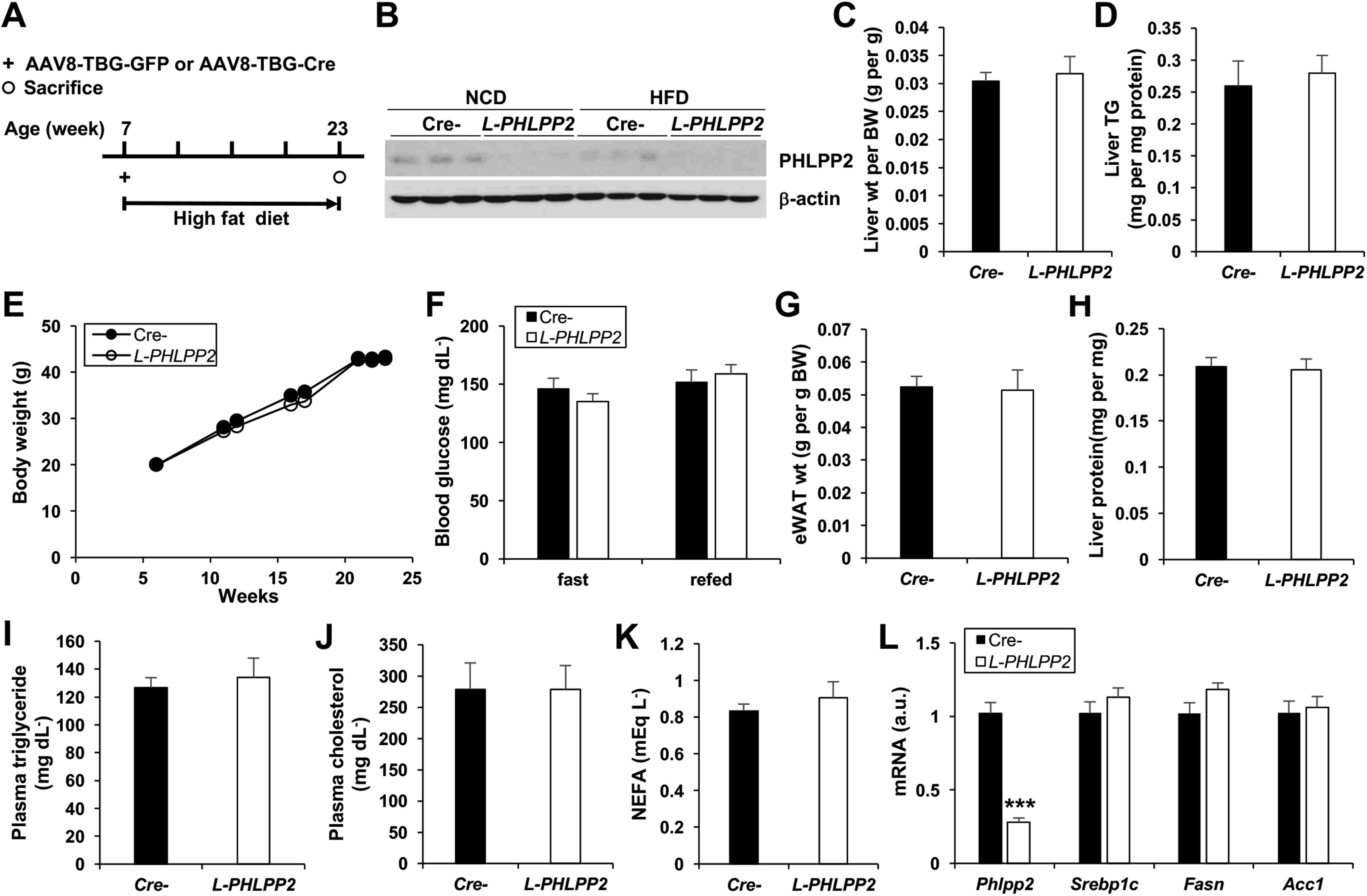 Degradation Of Phlpp2 By Kctd17 Via A Glucagon Dependent