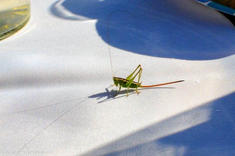 This katydid wanted to join us for dinner!