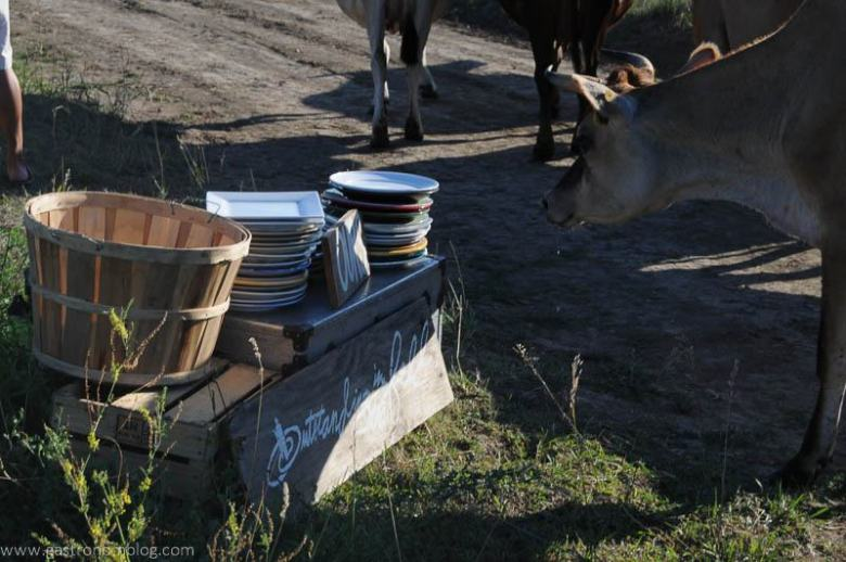 Dinner was really in the middle of the cow pasture! This cow stops to check out the plates used for dinner!