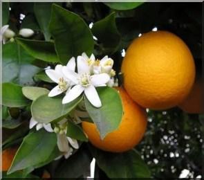 Oranges et fleurs