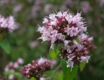 Origan en fleurs d'origan