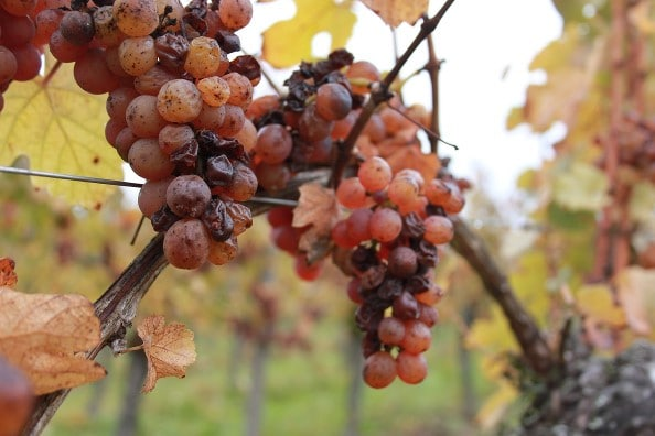 Raisins gewurztraminer de vendanges tardives