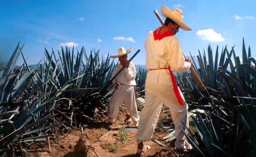 Récolte d'agave au Mexique