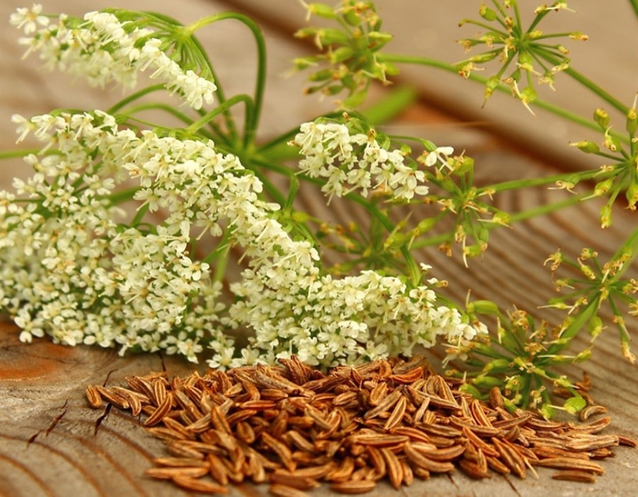 Fleurs et graines de carvi