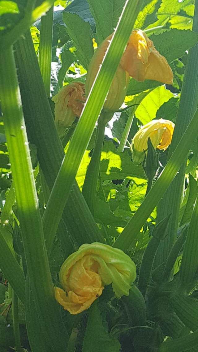 planta de calabaciones en flor