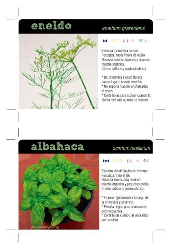 Fichas de plantas aromáticas III: eneldo y albahaca