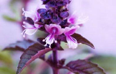 Albahaca púrpura en flor