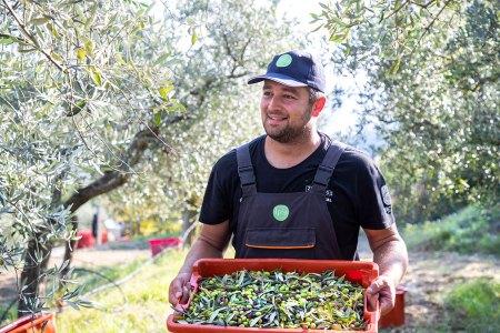 Bio-Olivenöl Istrien : Die Ernte erfolgt mit motorisierten Maschinen, mit denen die Olivensträucher geschüttelt werden. Die Früchte fallen auf die darunter ausgebreiteten Netze und werden danach eingesammelt.