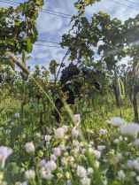 Die Reben düfen ruhig wild wachsen