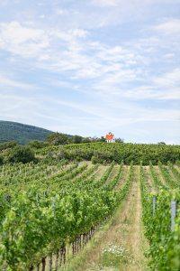 Weinernte 2021 Österreichs Weingärten halten sich bereit für die Ernte.