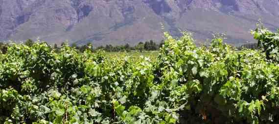 VINEYARDS IN THE CAPE WINELANDS