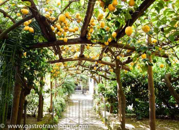 Lemon tree groves in Sorrento