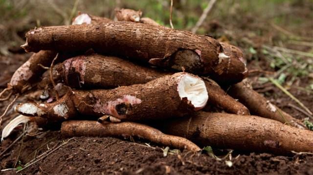Résultats de recherche d'images pour «cassava»