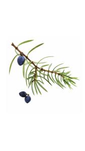 Juniper Berry Juniperus communis