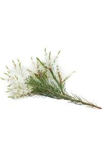 Melaleuca (Tea Tree) Melaleuca alternifolia