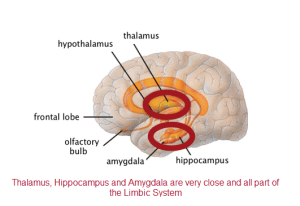 thalamus amygdala and hippocampus