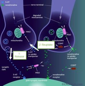 serotonin release and reuptake