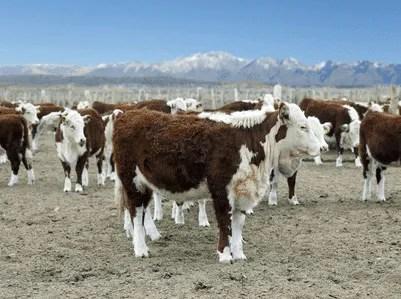 cattle-brazil