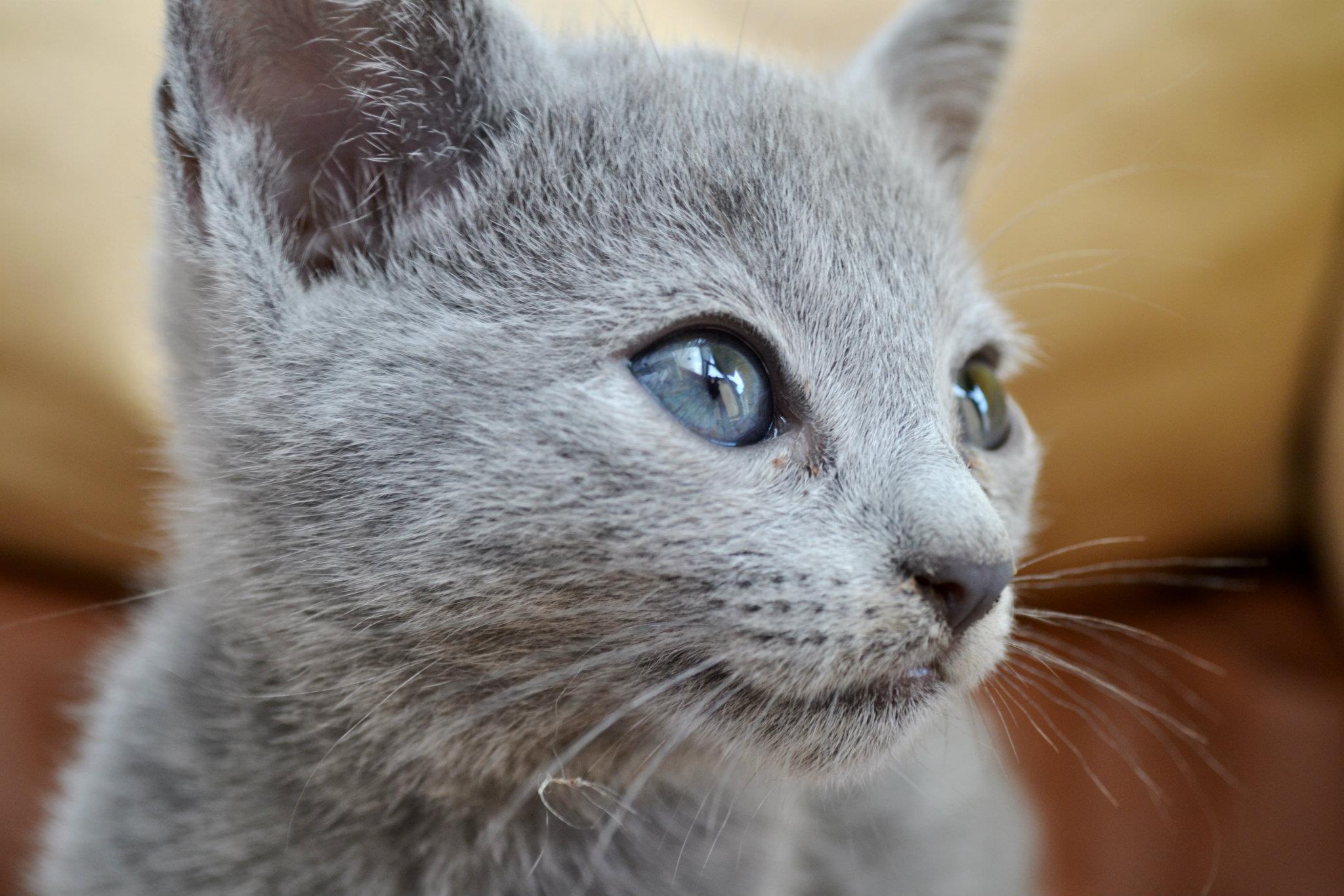 Cuccioli Blu Di Russia Disponibili Archangel Sk