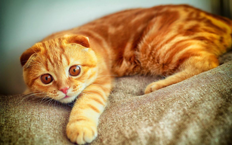 Razze Di Gatti Arancioni Gatto Blog Vuoi Un Gatto Che Sembra