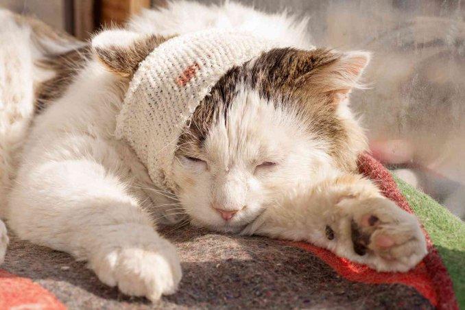 Come trattare la ferita di un gatto