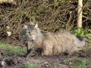 gatto norvegese 4