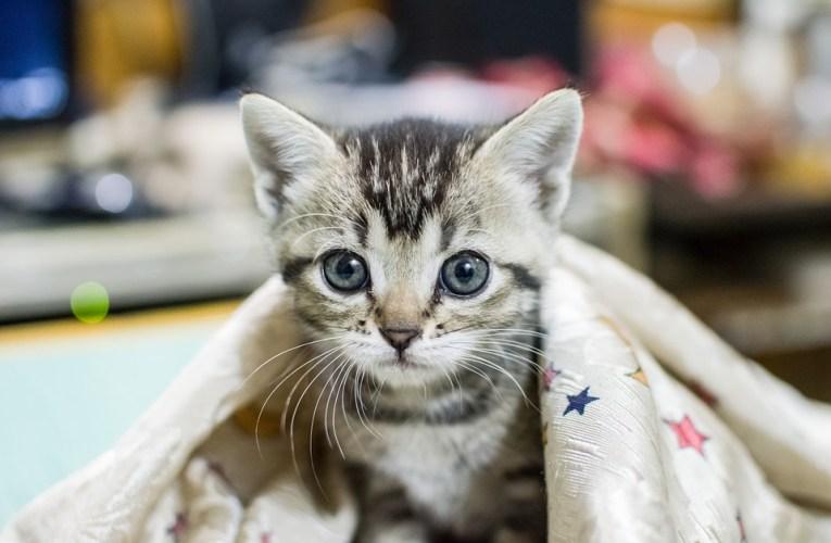 Raffreddore del gatto: Cure e rimedi, quali sono e come fare