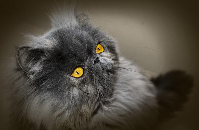 Gatto Persiano: storia, carattere e curiosità