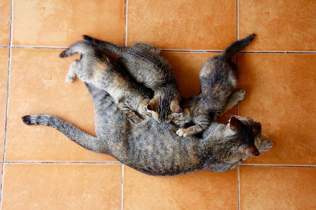 Gestazione gatti: sintomi, durata e fasi
