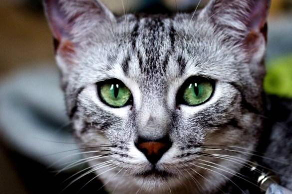 gatto egiziano