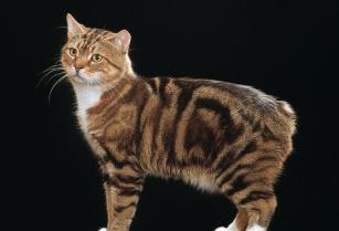 Gatto dell isola di Man, senza coda