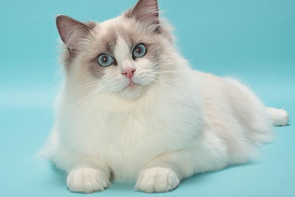 Il gatto Rag doll