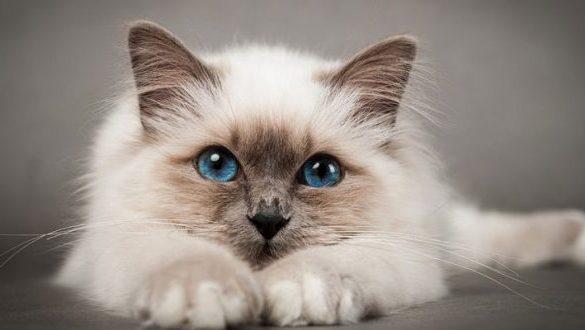 gatto birmano1