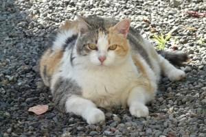 gatto-grasso