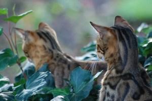 gatto_bengala_125