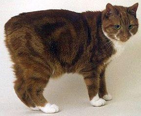 Gatto dell isola di Man, con coda tagliata